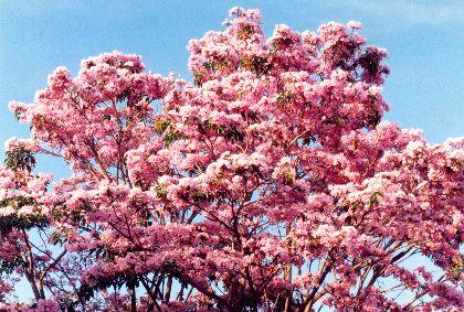 Apamate – (Tabebuia rosea)