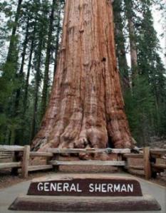 General Sherman, el árbol con más volumen
