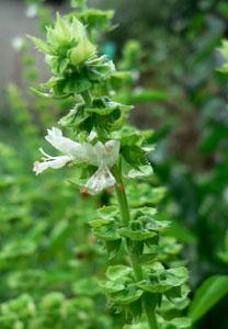 La Albahaca - Ocimum basilicum