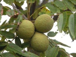 Black Walnut- Juglans nigra