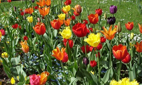 Tulipanes, un mundo de color para el jardín