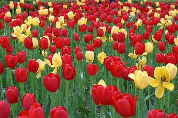 Tulipanes, color y alegría para el jardín