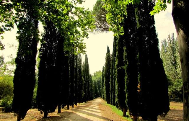 El ciprés: origen mitológico