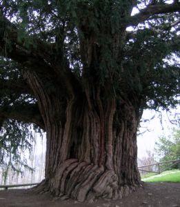 Curiosidades acerca del Tejo, árbol sagrado de los celtas. 2