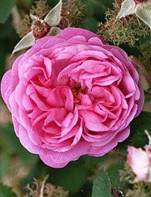 Rosa Centifolia 1