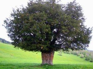 Curiosidades acerca del Tejo, árbol sagrado de los celtas. 1