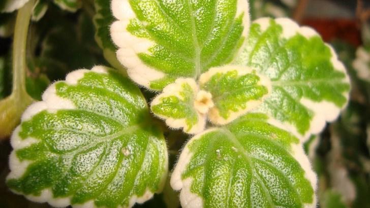Plectranthus coleoides: Planta del Incienso