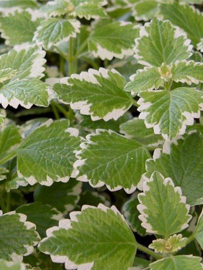 Variegata  Swedish Ivy  Plectranthus coleoides  Proven