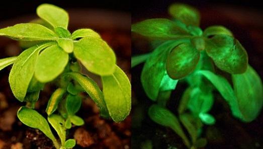 Plantas luminiscentes