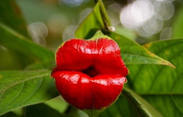 Psychotria elata: La flor del beso