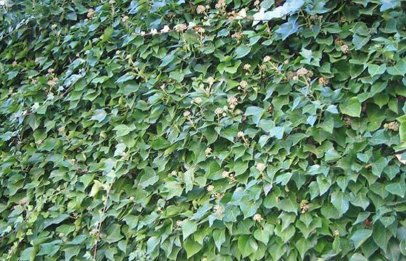 Arbustos trepadores en los jardines