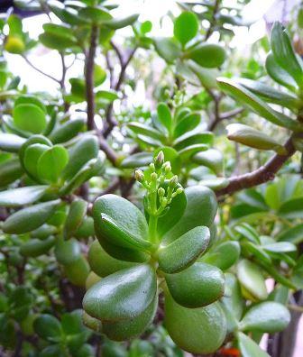 Crassula ovata: El árbol de Jade
