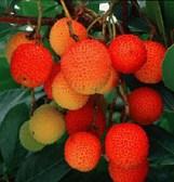 MADRONO_frutos