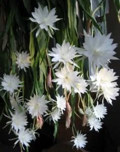 Epiphyllum o Pluma de Santa Teresa 1