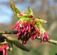 Parrotia flor