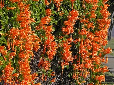 Pyrostegia venusta: Trompetero naranja