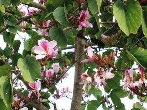 Bauhinia variegata: Árbol de Pata de Vaca 3