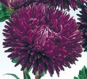 callistephus-chinensis-gala-purple