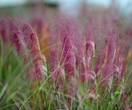 Flor de Muhlenbergia