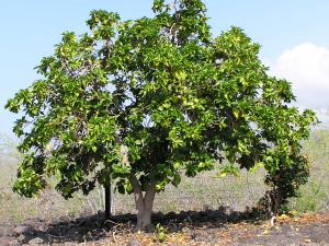 El Noni: Morinda citrifolia, árbol de la fruta prodigiosa. 1