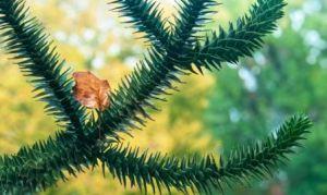 araucaria hojas