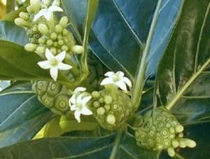 El Noni: Morinda citrifolia, árbol de la fruta prodigiosa. 3