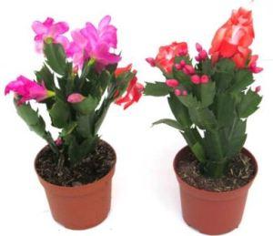 Rhipsalis: El cactus tropical 2