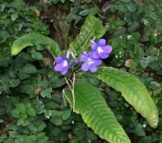 streptocarpus