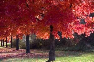 Acer Rubrum: El arce rojo americano 4