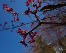 Flores Arce rojo