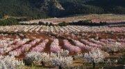 Marzo: almendros en flor