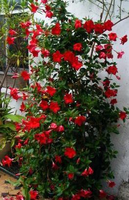La Mandevilla, una trepadora que llenará de color tu jardín