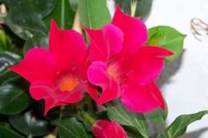 La Mandevilla, una trepadora que llenará de color tu jardín 3