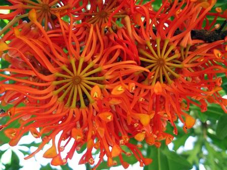 El árbol de las ruedas de fuego: Stenocarpus sinuatus.