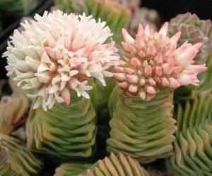 Floración crassula
