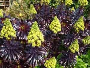 La rosa negra: Aeonium arboreum cabeza negra 2