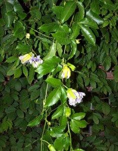 Pasiflora: flor de la pasión, flor de la tranquilidad 2