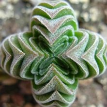Vista crassula