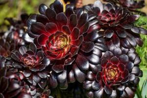 La rosa negra: Aeonium arboreum cabeza negra 3