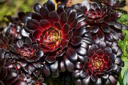 La rosa negra: Aeonium arboreum cabeza negra