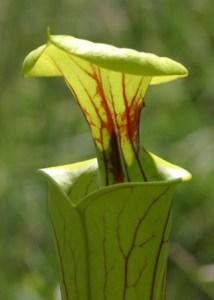 Sarracenia, la planta carnívora de terrario. 3