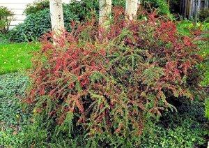 Cotoneaster, para climas fríos. 2