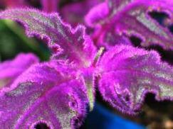 Hojas Pasión Púrpura