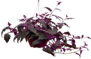 Pasión púrpura colgante
