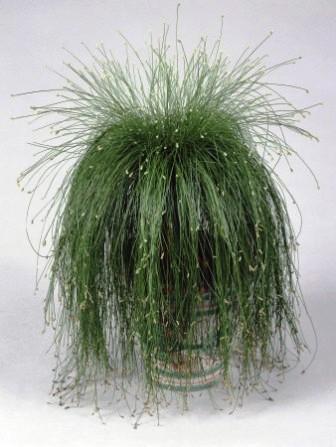 Scirpus cernuus la planta punk - Zimmerpflanzen schatten ...