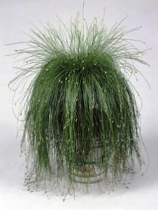 Scirpus Cernuus, la planta Punk 4