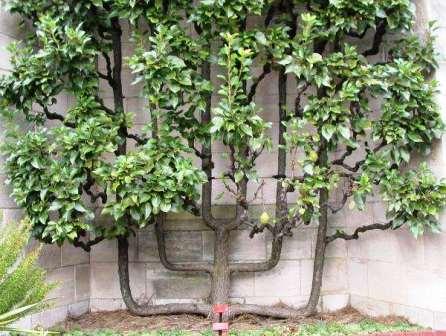 Frutales en espaldera - Cuando plantar frutales ...