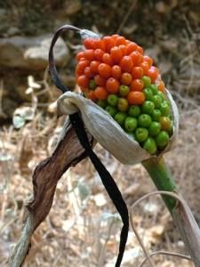Dracunculus vulgaris o Dragoneta 4