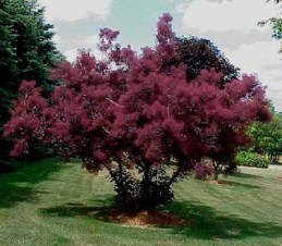 Cotinus coggygria púrpura