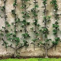 Manzano-en-espaldera1